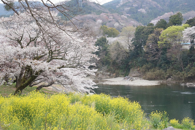 sakurabuchi-DSC06968s.jpg