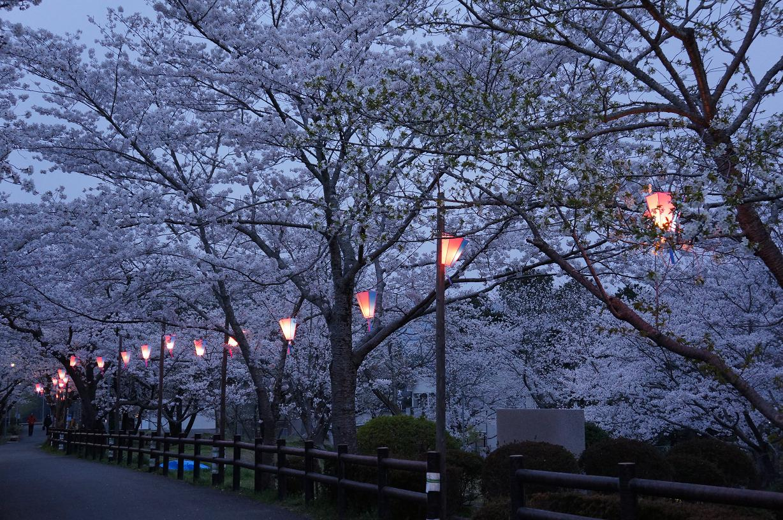 sakurabuchi-DSC06989s.jpg