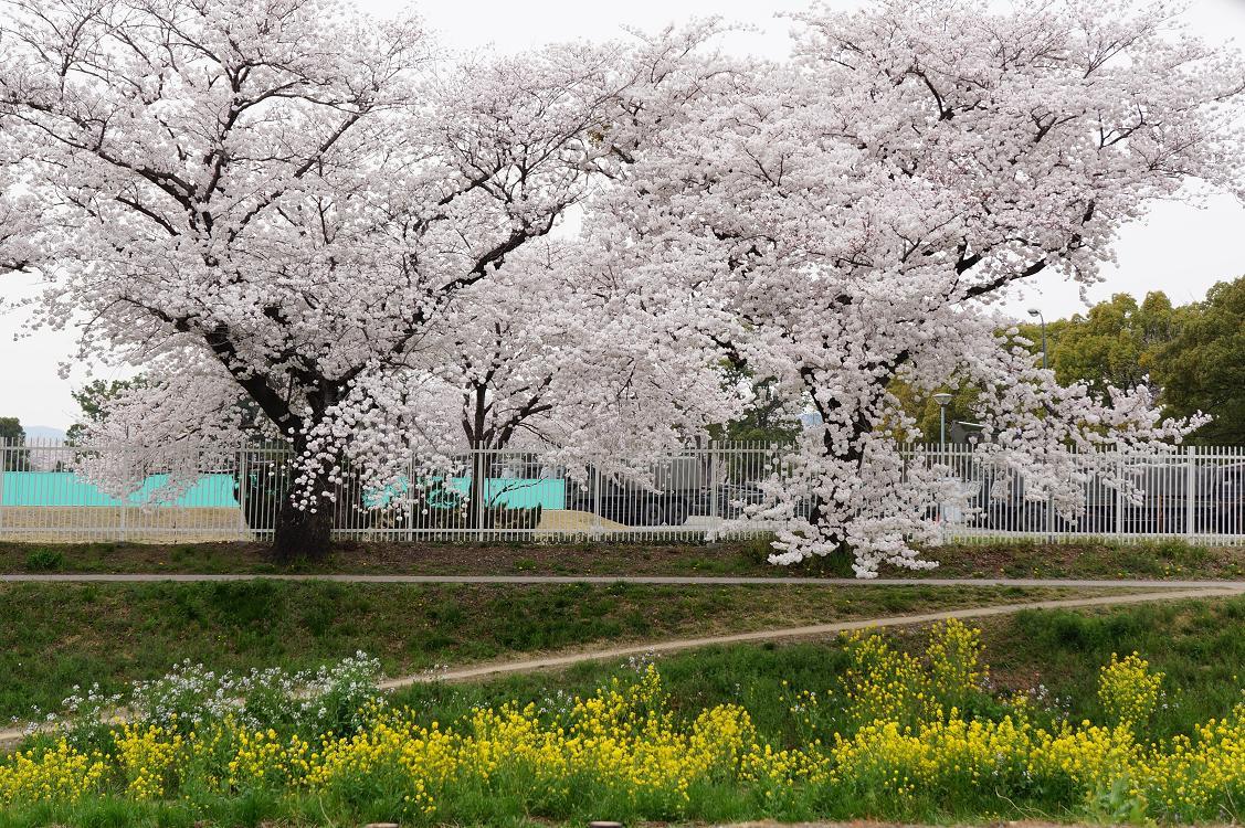 sakurabuchi-sanada-DSC06945s.jpg