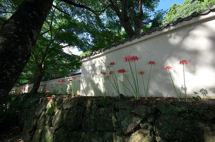 蓮華寺に彼岸花が咲く頃 3