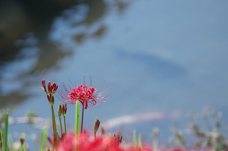 彼岸花の咲く川辺 2