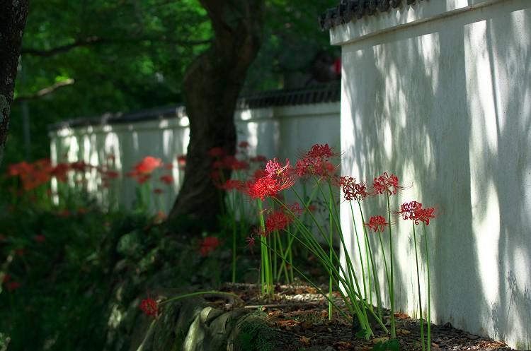 蓮華寺に彼岸花が咲く頃 5
