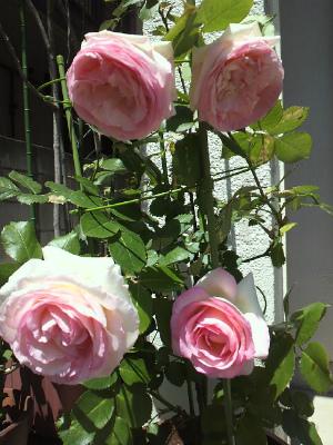 今年は4つ花が付きました!