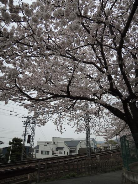 額田駅の北にある公園の桜(東大阪市山手町)