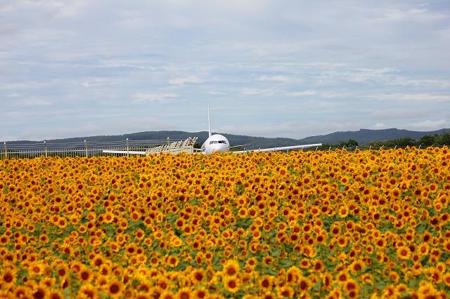 空港のひまわり2013 022