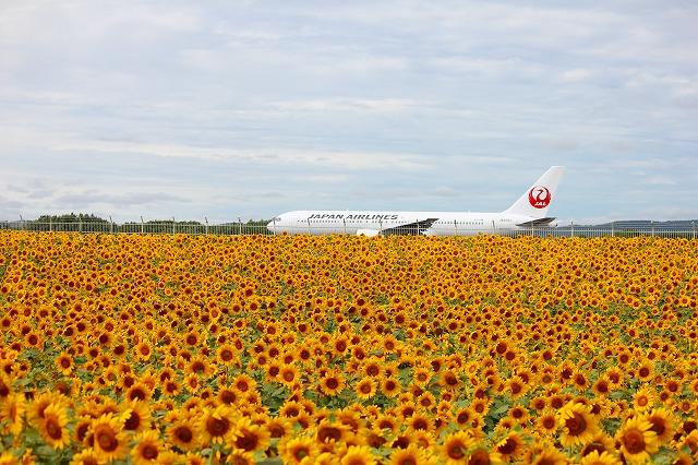 空港のひまわり2013 024