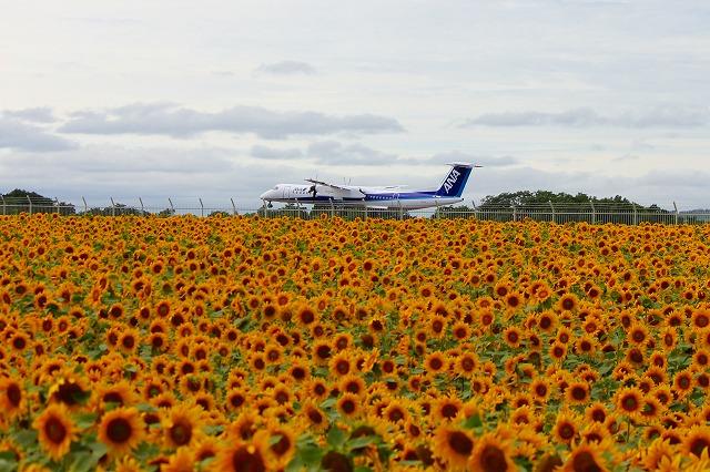 空港のひまわり2013 080