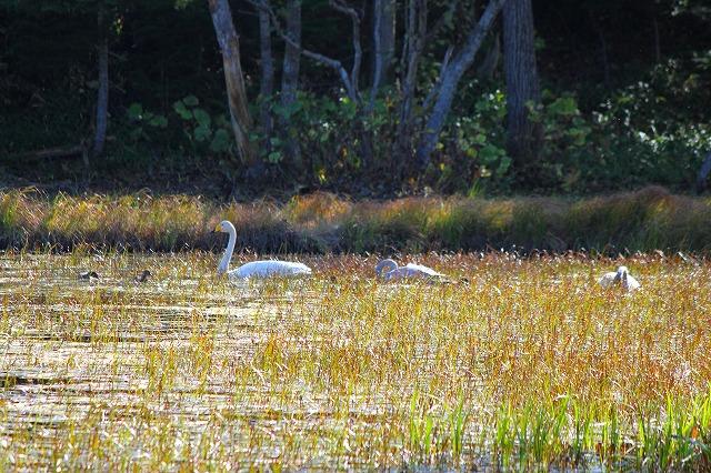 二湖の白鳥