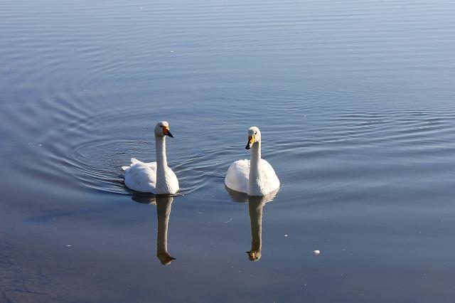 サロマ湖の白鳥 010
