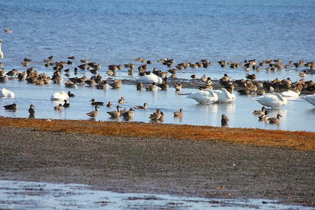 サロマ湖の白鳥 002