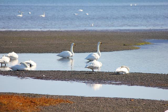 サロマ湖の白鳥 001
