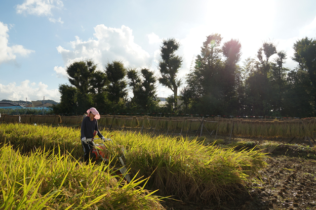 稲を刈るカミさん'13