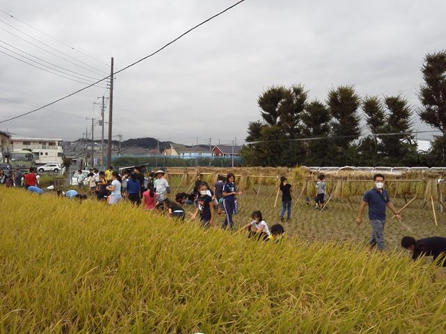 稲を刈る小学生