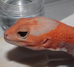オレンジアルビノ2