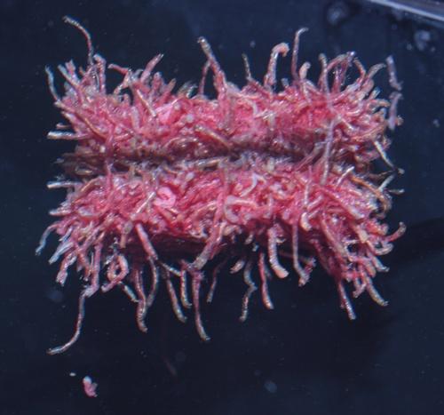 板チョコ赤虫2