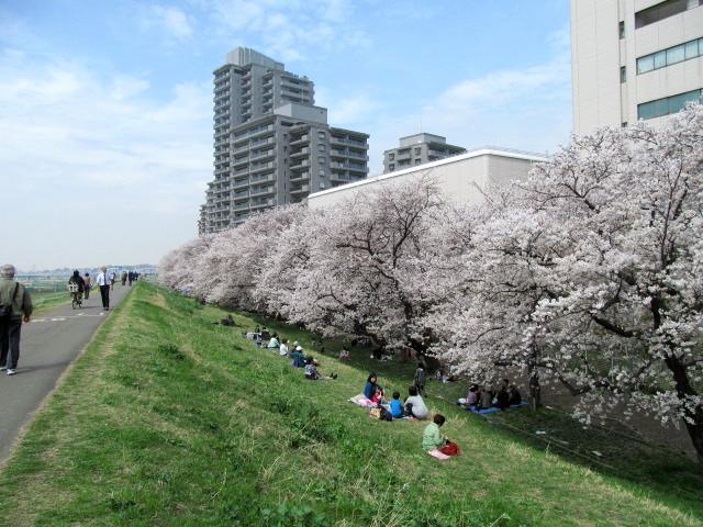 多摩川桜 014