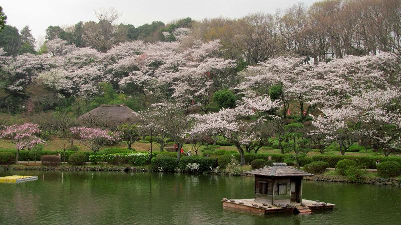薬師池桜 001