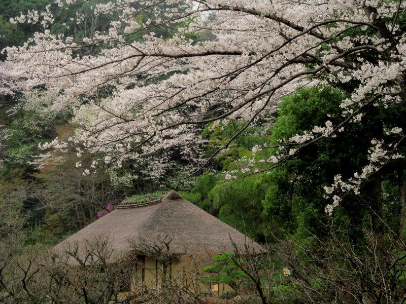 薬師池桜 002
