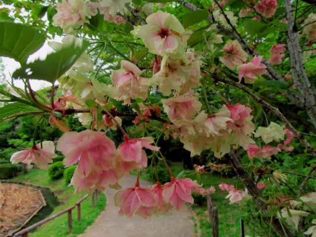 13鬱金桜散り染め