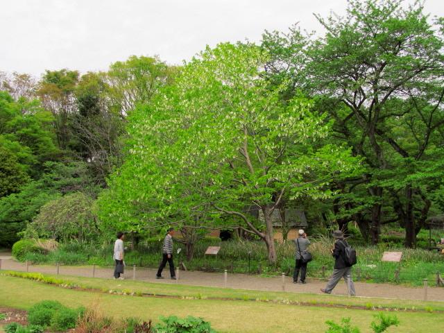 01神代 ハンカチの木01