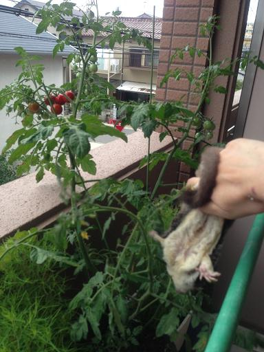 ミニトマトりんこ
