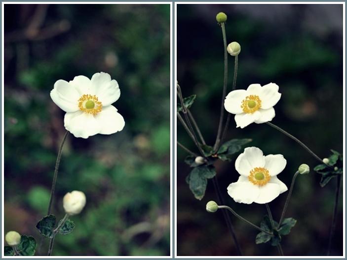 秋明菊花1