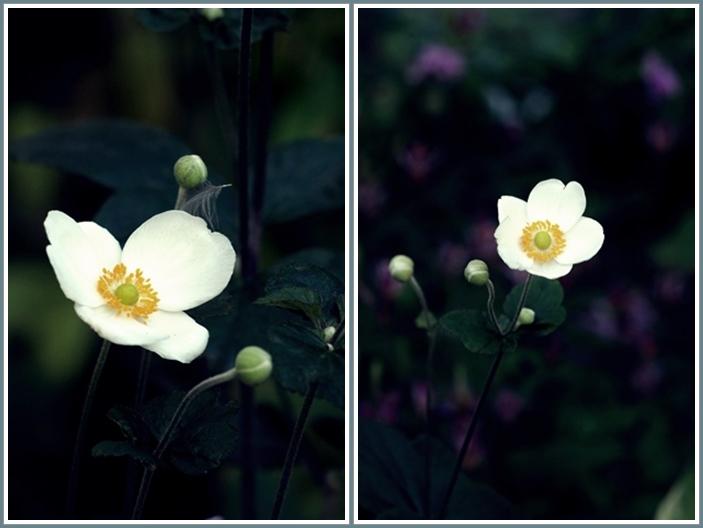 秋明菊花2