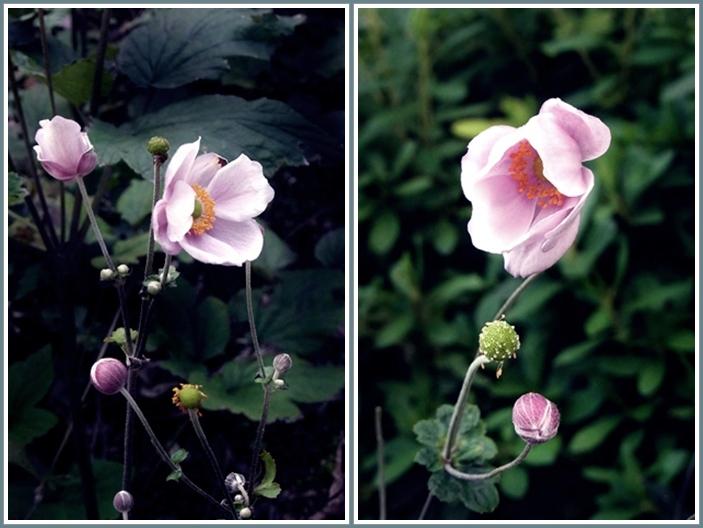 秋明菊花3