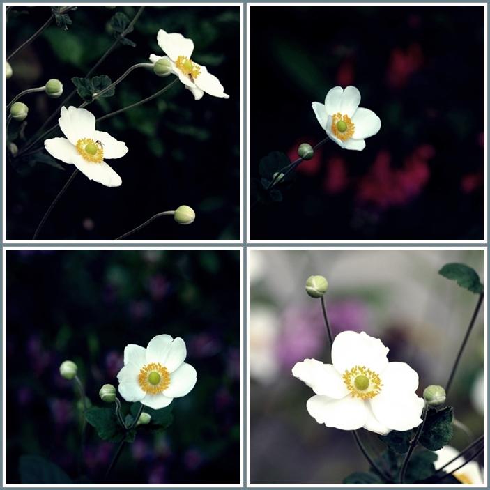 秋明菊花4