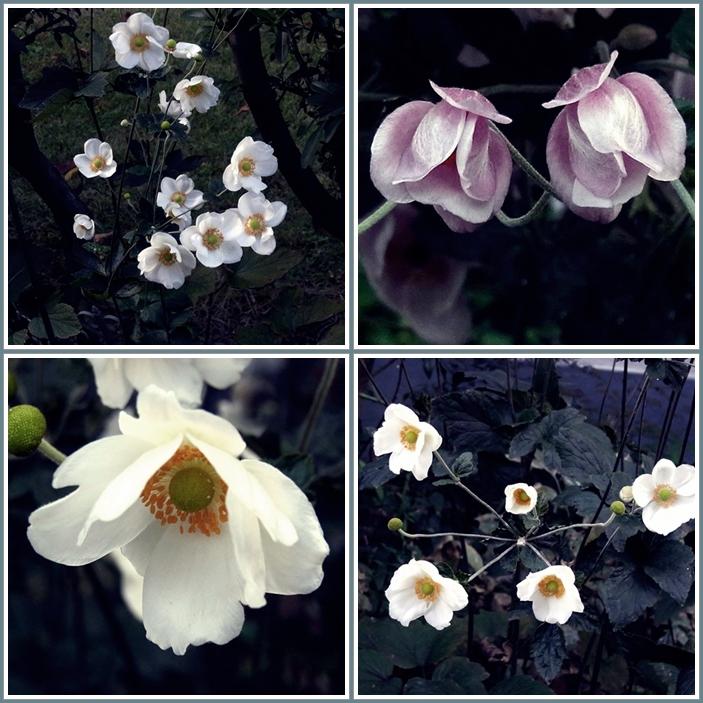 秋明菊花6