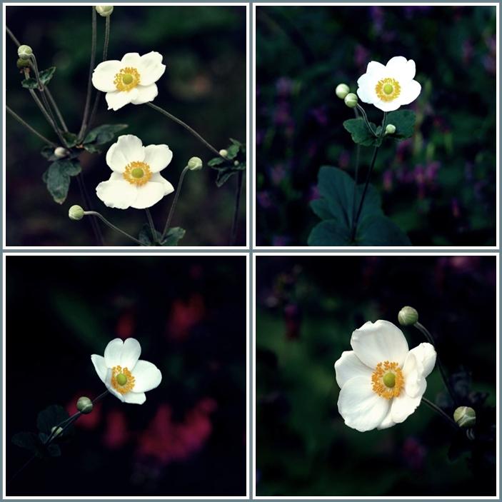 秋明菊花5