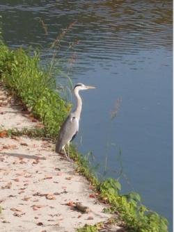平安神宮疎水の水鳥-3