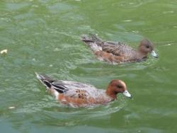 平安神宮疎水の水鳥-2