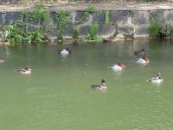 平安神宮疎水の水鳥-1