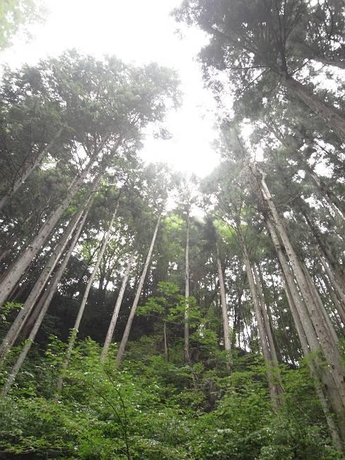 九頭龍の滝 杉-s