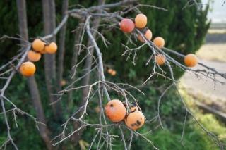 柿 残り1