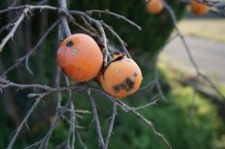 柿 残り2