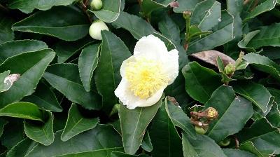 2013.11.9 お茶の花