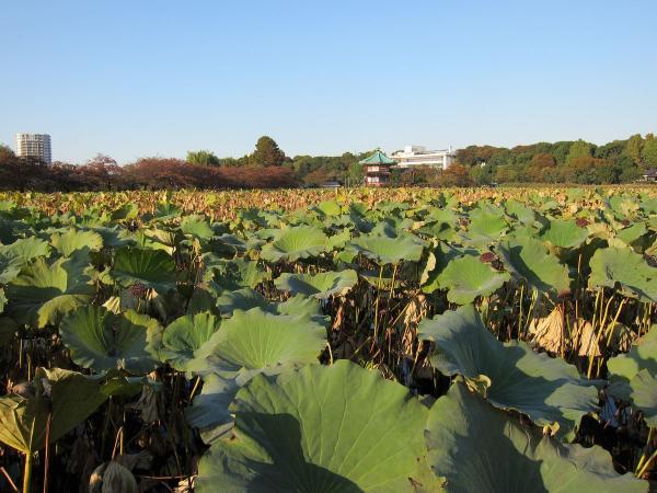 上野公園・不忍池4〔フリー写真〕