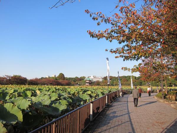 上野公園・不忍池6〔フリー写真〕
