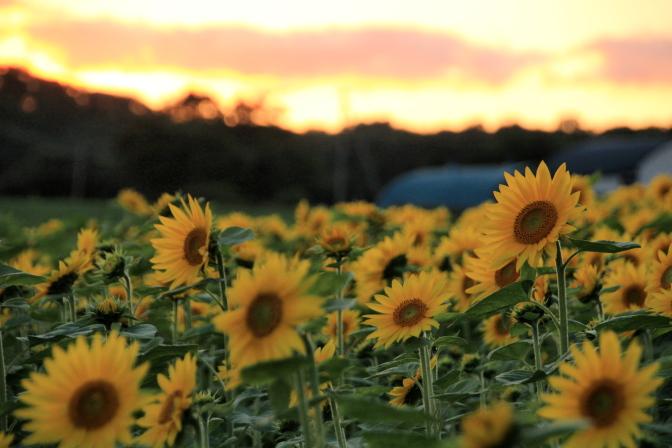 paletteHill-Sunflower2013_14t.jpg