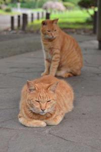 兄弟猫 Ai-chan The Ginger Cat & Brother