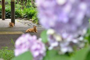 アジサイ 兄弟猫 Ai-chan The Ginger Cat & Brother