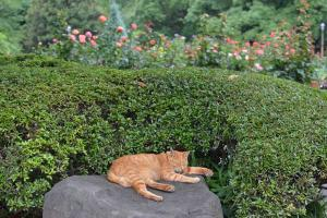 茶トラ猫 Ginger Cat at Cool Place