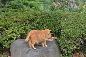 茶トラ猫 愛ちゃん兄弟 Ai-chan The Cat & Brother