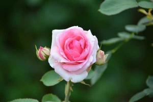 夏バラ Summer Rose