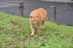 茶トラ猫 愛ちゃん Ai-chan The Ginger Cat