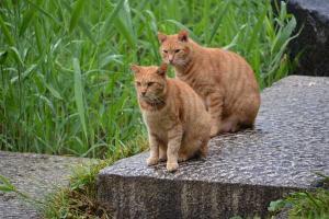 茶トラ猫 愛ちゃん Ginger Cat Brothers