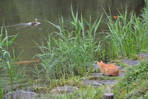 茶トラ猫 愛ちゃん 鴨と鯉 Ai-chan The Ginger Cat Watching Duck and Koi fish