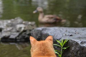 茶トラ猫 愛ちゃん 鴨 Ai-chan The Ginger Cat Gazing at Duck